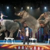 A Ringling Bros. felmenti cirkuszi elefántjait