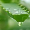 Aloe vera, a csodálatos bőrápoló