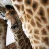 Axl Rose-t felháborította a lemészárolt zsiráf története