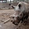 Elhunyt Nola - már csak három északi szélesszájú orrszarvú él