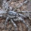 Emberi fej méretű pókfajt találtak