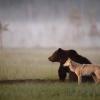 Ilyet még nem láttál: egy farkas és egy medve barátsága