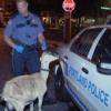 Kecske csapta be a rendőröket