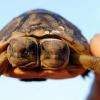 Két fejjel is boldog a teknős