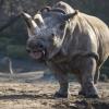 Kihalásra ítélve – már csak négy szélesszájú orrszarvú él