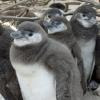 Pingvineket öl a klímaváltozás