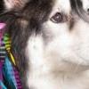 Szőrhosszabbítás kutyáknak: az új trend