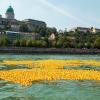 Több mint 50 000 gumikacsa úszott a Dunán