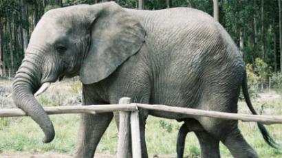 Bizarr! Haldokló elefánt oldalán táncolt egy cirkuszi munkás