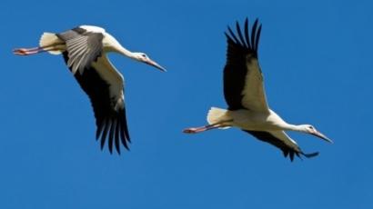 Egyiptomban kémnek véltek egy magyar gólyát