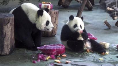 Eljátszotta terhességét a panda, hogy jobban bánjanak vele
