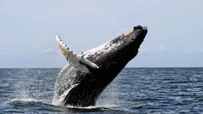 Halászok mentették még egy bálna életét