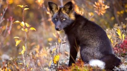 Láttál már fekete rókát? Ha még nem, akkor ki ne hagyd ezeket a ritka képeket!