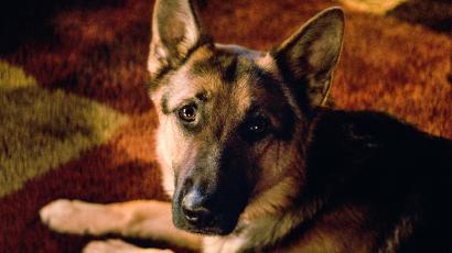 Lezárult az állatkínzás ügyében folytatott nyomozás az Egy kutya négy élete kapcsán