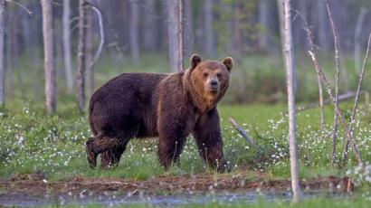 Úgy néz ki, hogy újra állandó lakói lehetnek Magyarországnak a medvék