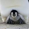 pingvinkirálynő