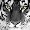 Tigrisbigris