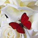 pillangó és rózsa.jpg