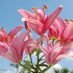 rózsaszín liliom.jpg