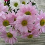 rózsaszín margaréa.jpg