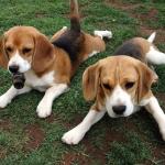 beagle-pups-widescreen.jpg