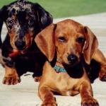 dachshund+dog+breeds+00+001.jpg