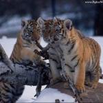 tigris_kolykok.jpg