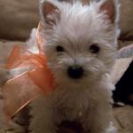 westie-puppy-with-bow.jpg