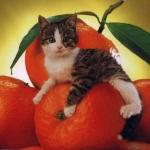 macska,narancs.jpg