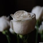 white_roses_2-wallpaper-1280x1024.jpg