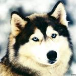 Husky kutyus =D