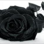 Fekete rózsa.jpg