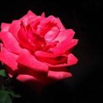 rozsa028_1024x768.jpg