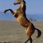 Arab ló