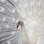 Peacock-1_thumb.jpg
