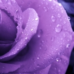 lila rózsa az esőben.jpg