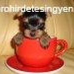 thmb_yorkshire-terrier-kolykok-eladok_11298135091.jpg