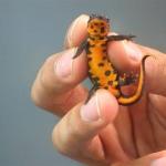 fire-belly-newt.jpg