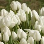white tulip-1.jpg