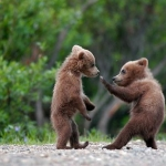 grizzly-bear-cubs_large.jpg