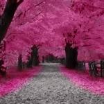 sakura_tree.jpg