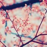 beautiful-blossom-blue-flower-Favim.com-524643.jpg