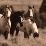 wild horses wallpepers.jpg