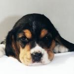 1024-beagle-10.jpg