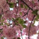 cseresznye faa