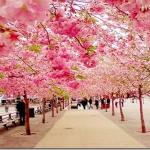 Cherry-Blossom-Walk-Sakura-Japan_thumb.jpg