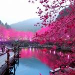 japanese_cherry-tree1.jpg
