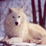kibaalaskawolf.jpg
