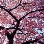 cseresznyefa1.jpg