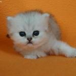 fajtizsta-ezust-arnyalt-perzsa-kiscica_21308292958.jpg